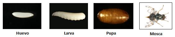 Evolución Ceratitis Capitata o mosca de la fruta
