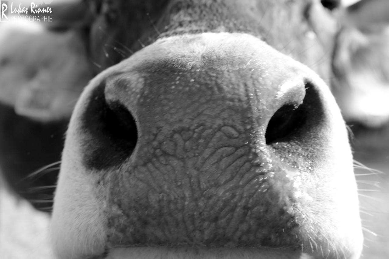 Kuh, Bergbauernhof Rinner, Schwende, Kleinwalsertal