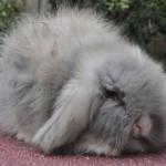 Keny bélier angora perlfeh, nez blanc yeux bleus ( Meringue X Sherif)