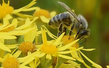 Honigbiene an Jakobskreuzkraut, Auch sie bringt die giftigen Stoffe in die Nahrungskette (Foto: D. Stöckl)