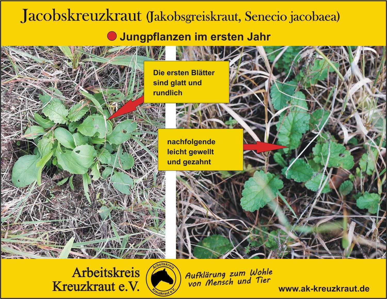 Jakobskreuzkraut, Jakobsgreiskraut (Senecio jacobaea)