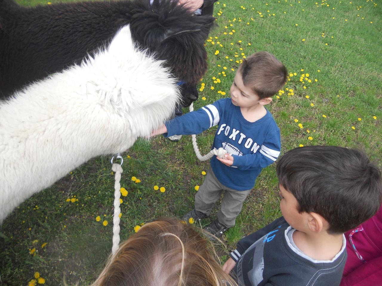 Obwohl die Kinder zum 1. x Alpakas sahen, gab es keine Angst vor den Tieren