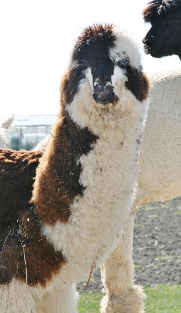 .... ab August 2013 gibt es nun das 4. Alpaka ....