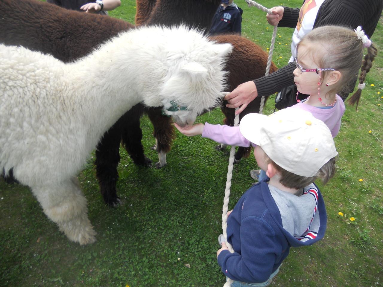 ... und erster Kontakt zu den Alpakas