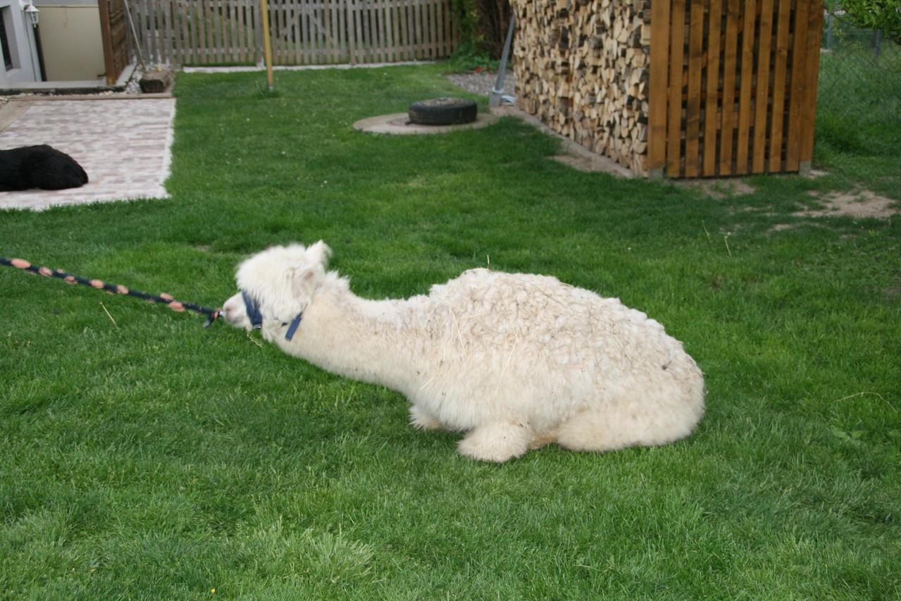 Arequipa mag keine neue Frisur