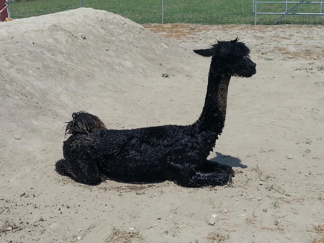 Anschließend im Sand panieren!