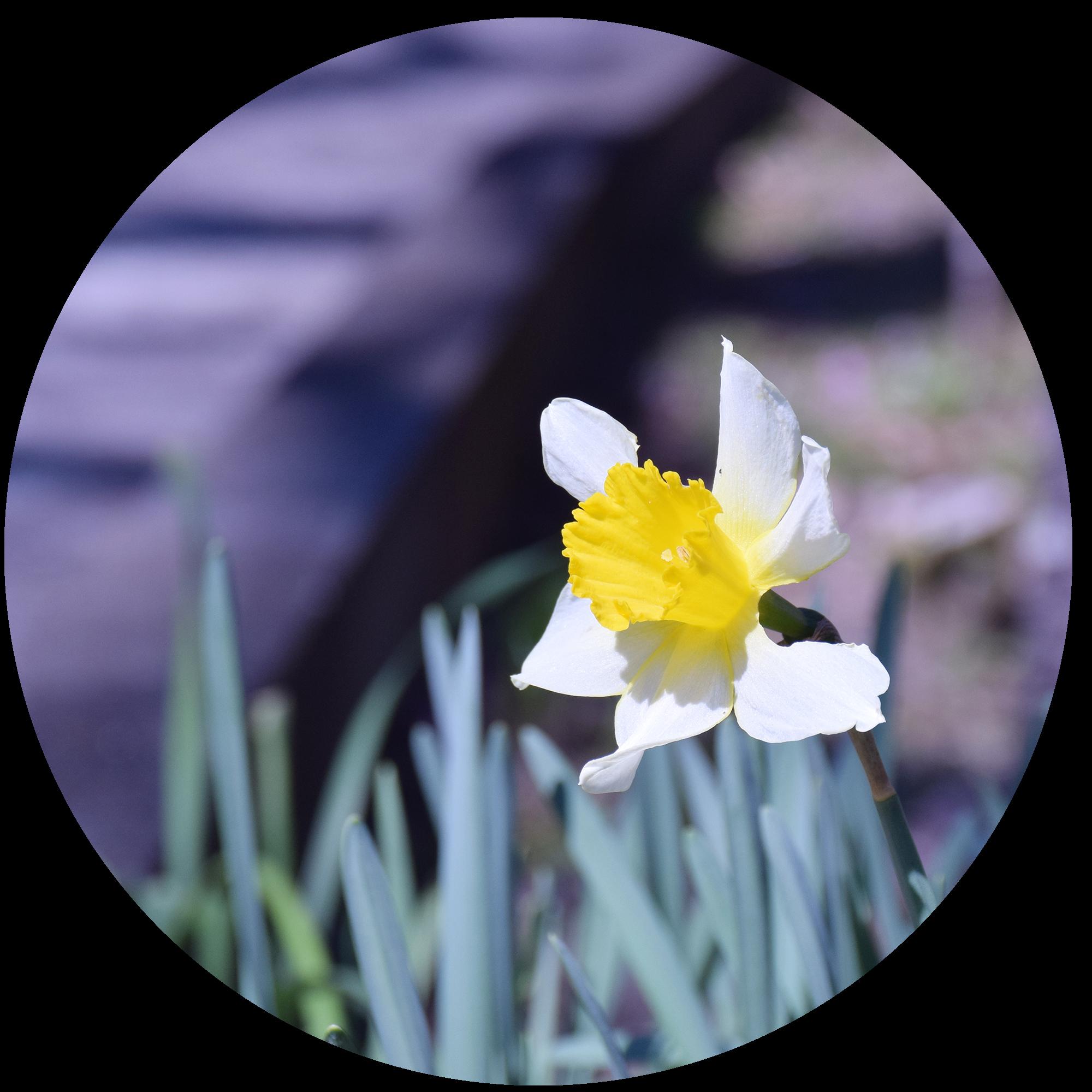 4月 水仙