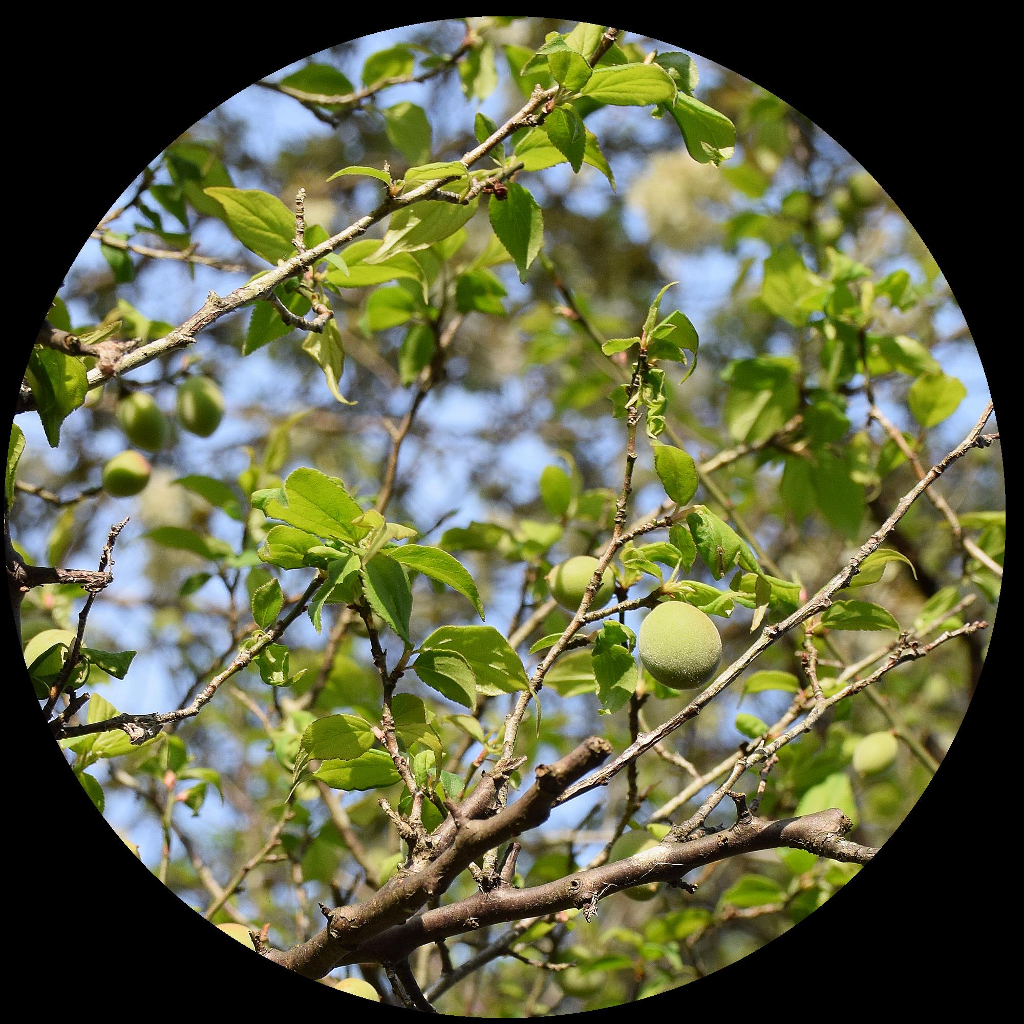 5月下旬 梅の実