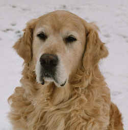 Ballu vom Goldenen Castillo 14.02.1996 - 23.09.2010 Golden Retriever, BH/VT, Agility A1