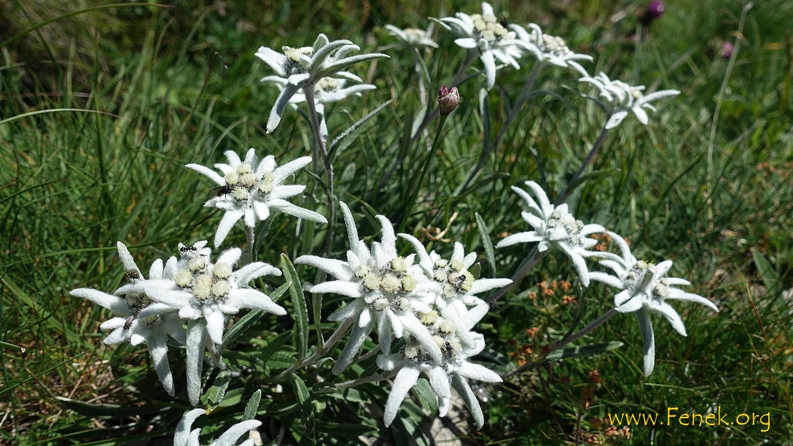 Edelweiss :-))