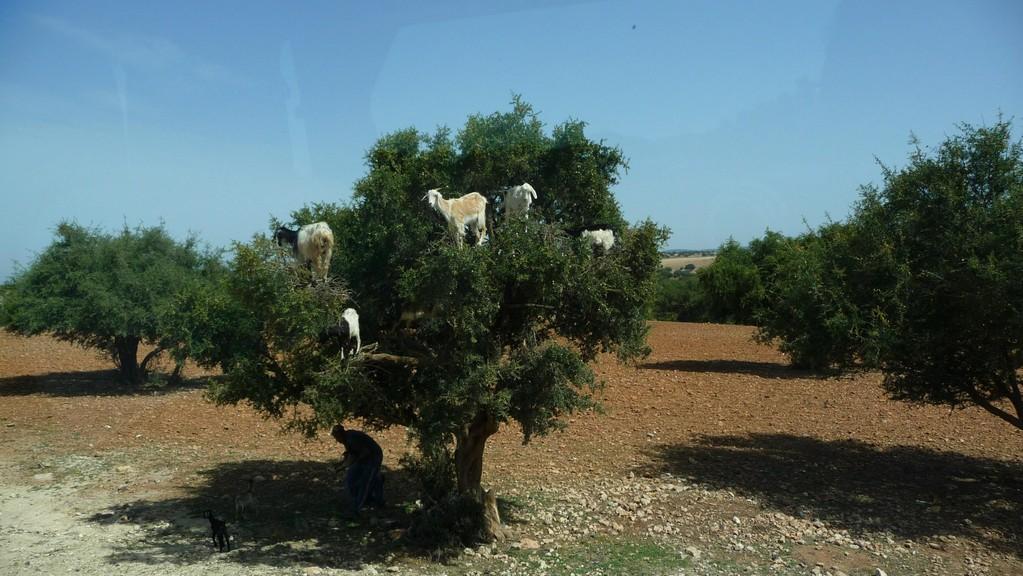 unterwegs - Kletterkünstler auf den Argan Bäumen....