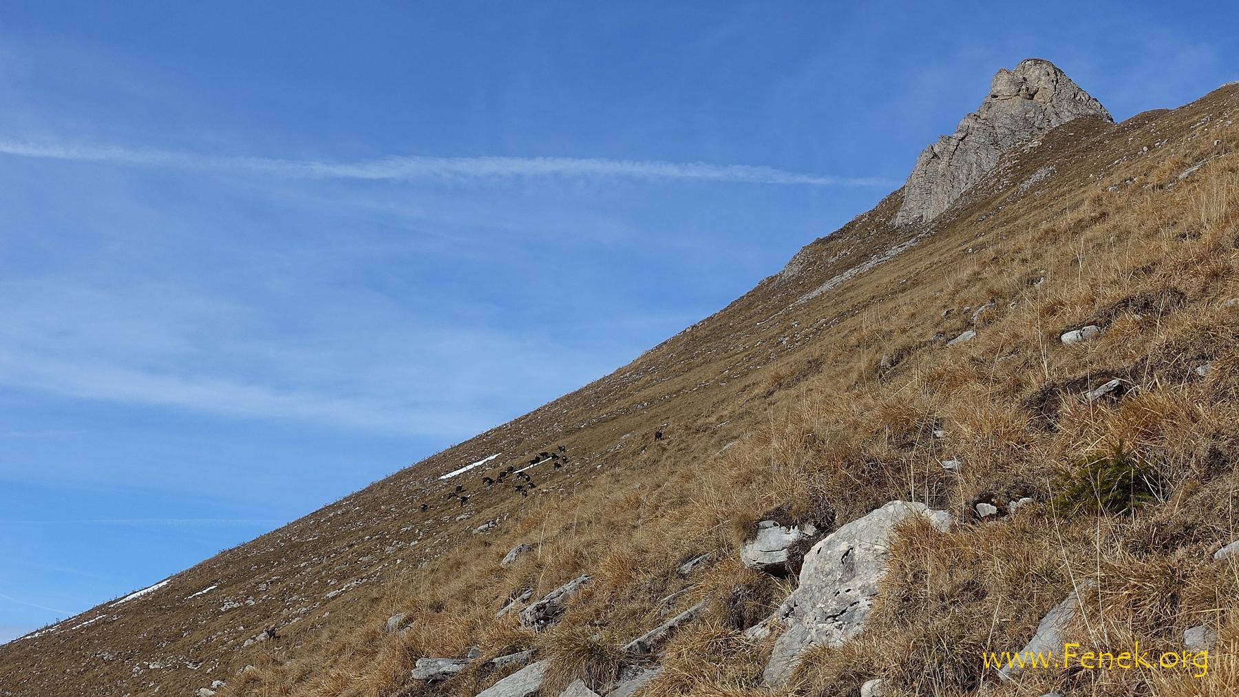 unter dem Gipfel eine Herde Gämsen - gleich werden sie mich bemerken