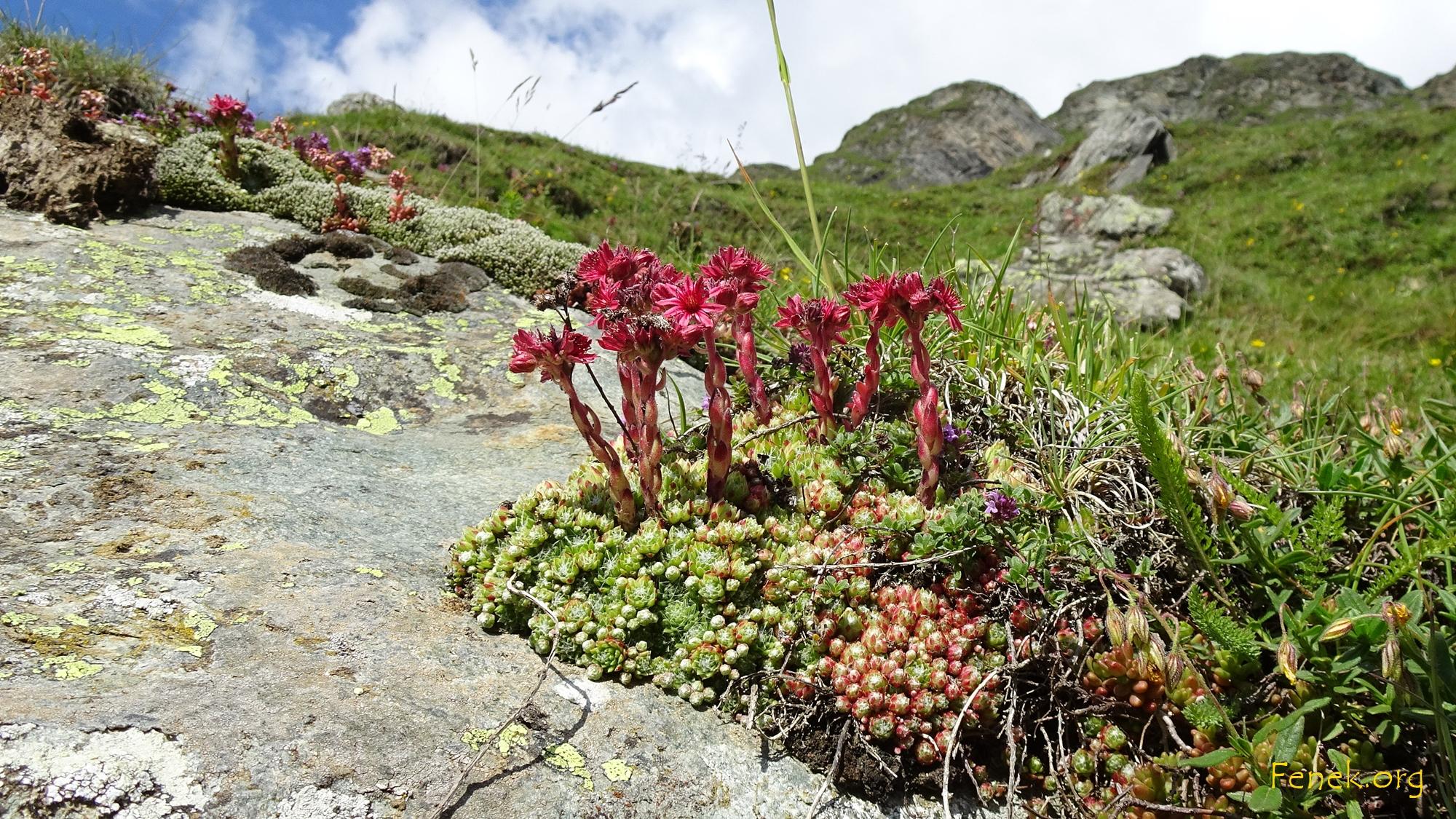 Sempervivum montanum - Berghauswurz