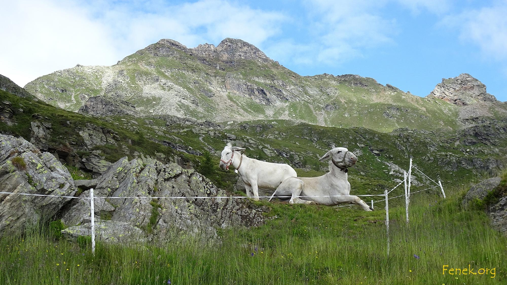 Das Empfangskomitee auf der Alp Stabveder