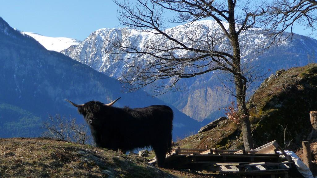 ein Hochlandrind bestaunt die schöne Bergwelt