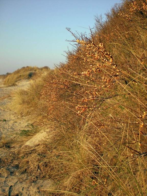 Les oyats des dunes du Crotoy