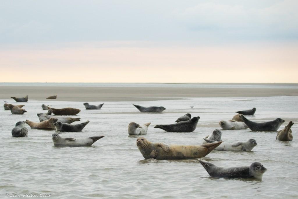 Phoques veau marin