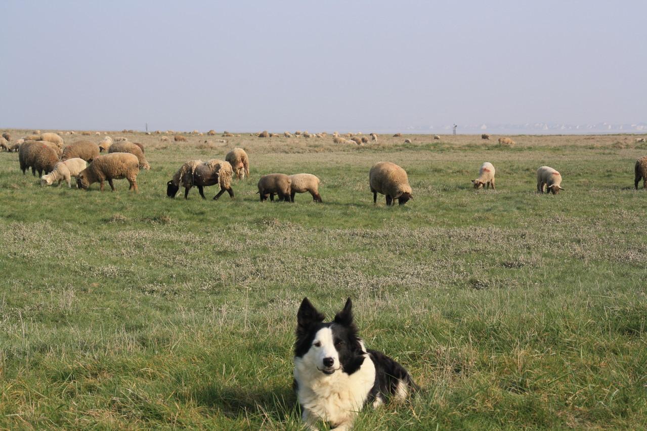 Moutons de près salées de la Baie de Somme