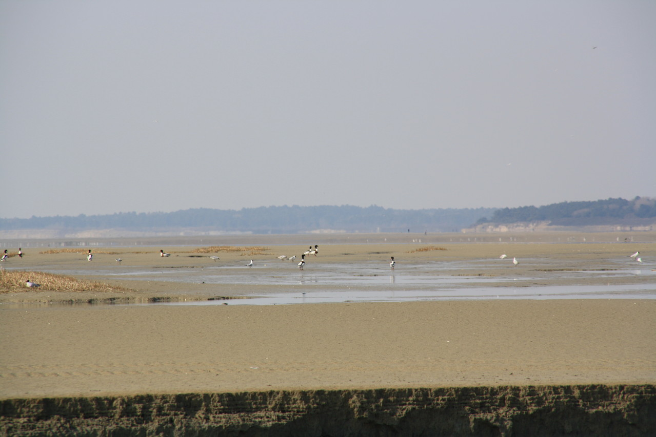 Tadorne en Baie de Somme