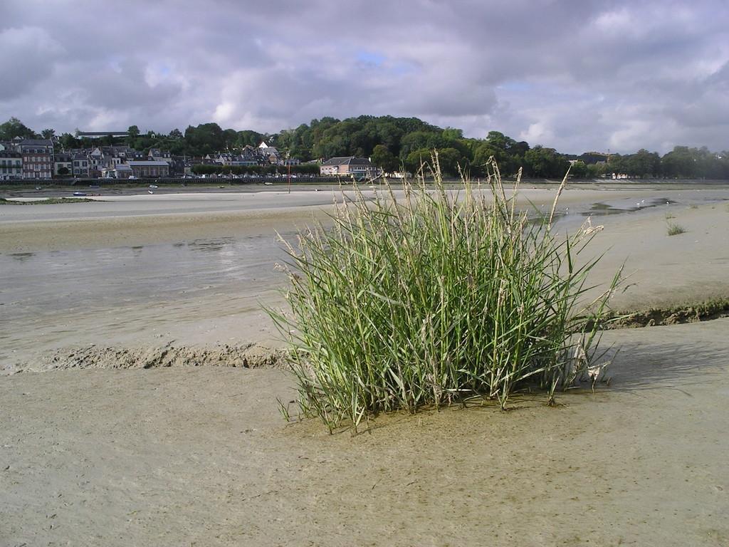La Spartine, plante envahissante de la Baie de Somme