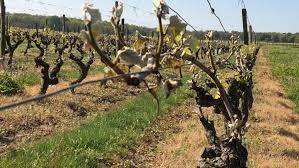 les vignes et le terroir