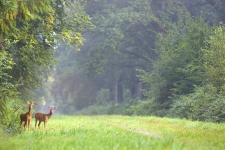 La forêt de Crécy et ses chevreuils