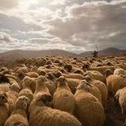 Der Schafhirte mit seinen Schafen