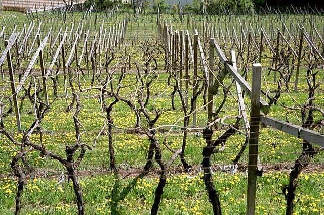 Der Winter ist überstanden, die Weinreben kruz vor dem Austrieb.