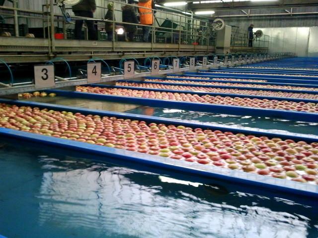 Die Bahnen werden mit fast identischen Äpfeln gefüllt. Der Großkunde entscheidet, wie er die Äpfel haben will.