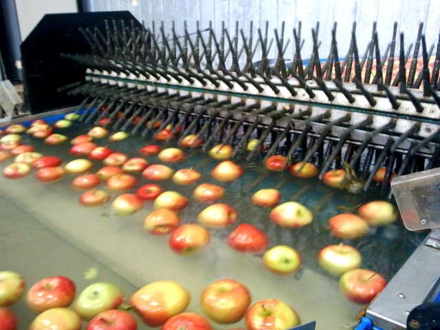 Die großen Apfelkisten werden in ein Wasserbecken getaucht, so dass die Äpfel an der Wasseroberfläche schwimmen. Dann werden sie in die Sortiermaschine transportiert.
