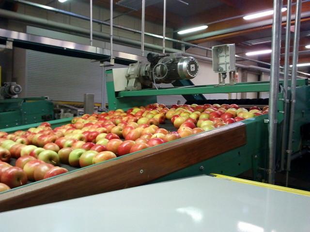 Im Idealfall werden die Äpfel dann verpackt.