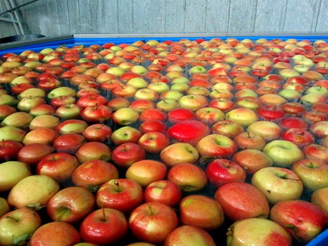 Dieser Transport erfolgt über dem Wasserweg. Die schwimmenden Äpfel sind bestens vor Beulen geschützt.