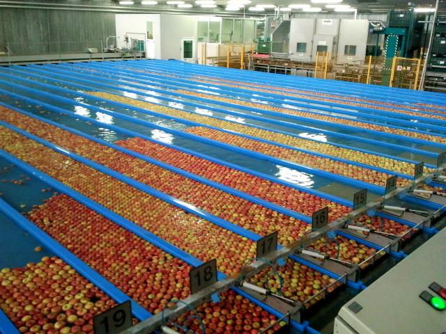 Die Äpfel schwimmen dann weiter und landen schließlich wieder in einer der grßen grünen Kisten.