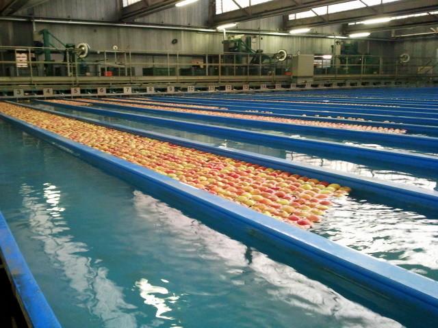 """Je nachdem wie die Sortiermaschine eingestellt ist, werden die Äpfel in Gruppen mit gleichen Eigenschaften zusammengefasst und """"fließen"""" dann in eine der etwa zwei Dutzend Bahnen."""
