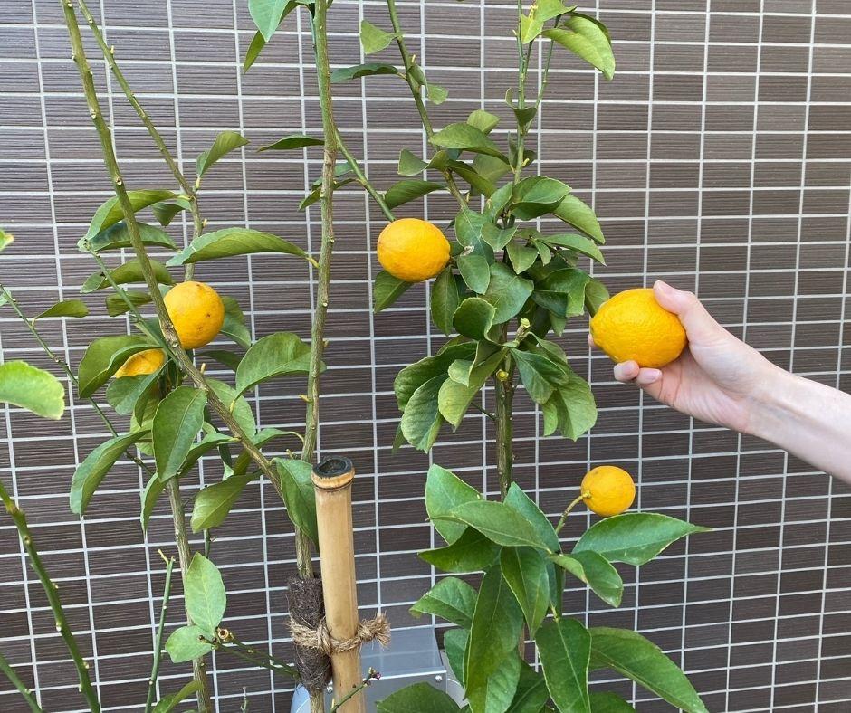 レモンの実を収穫しました。
