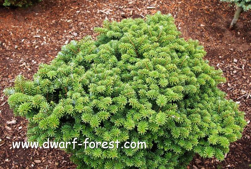 Abies Dwarf Forestcom