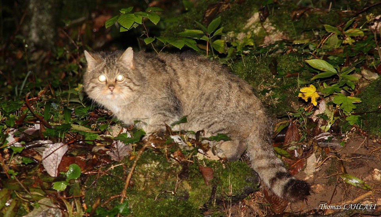 Chat forestier - T.Lahlafi