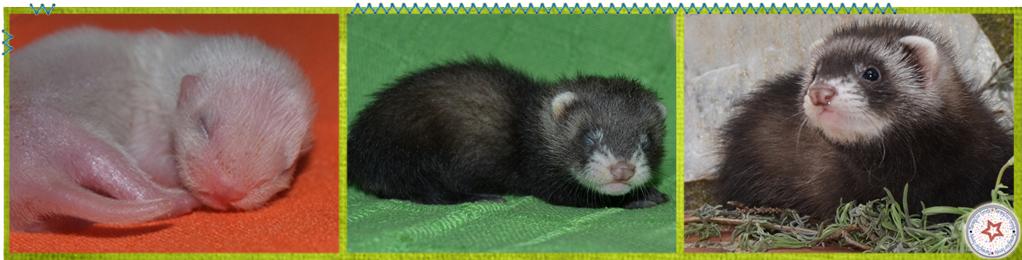 Evolución del color en cachorros - morningstar ferrets