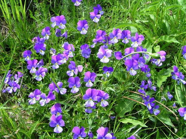 Une flore splendide... ici des pensées !