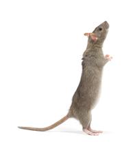 Aandacht voor rattenoverlast