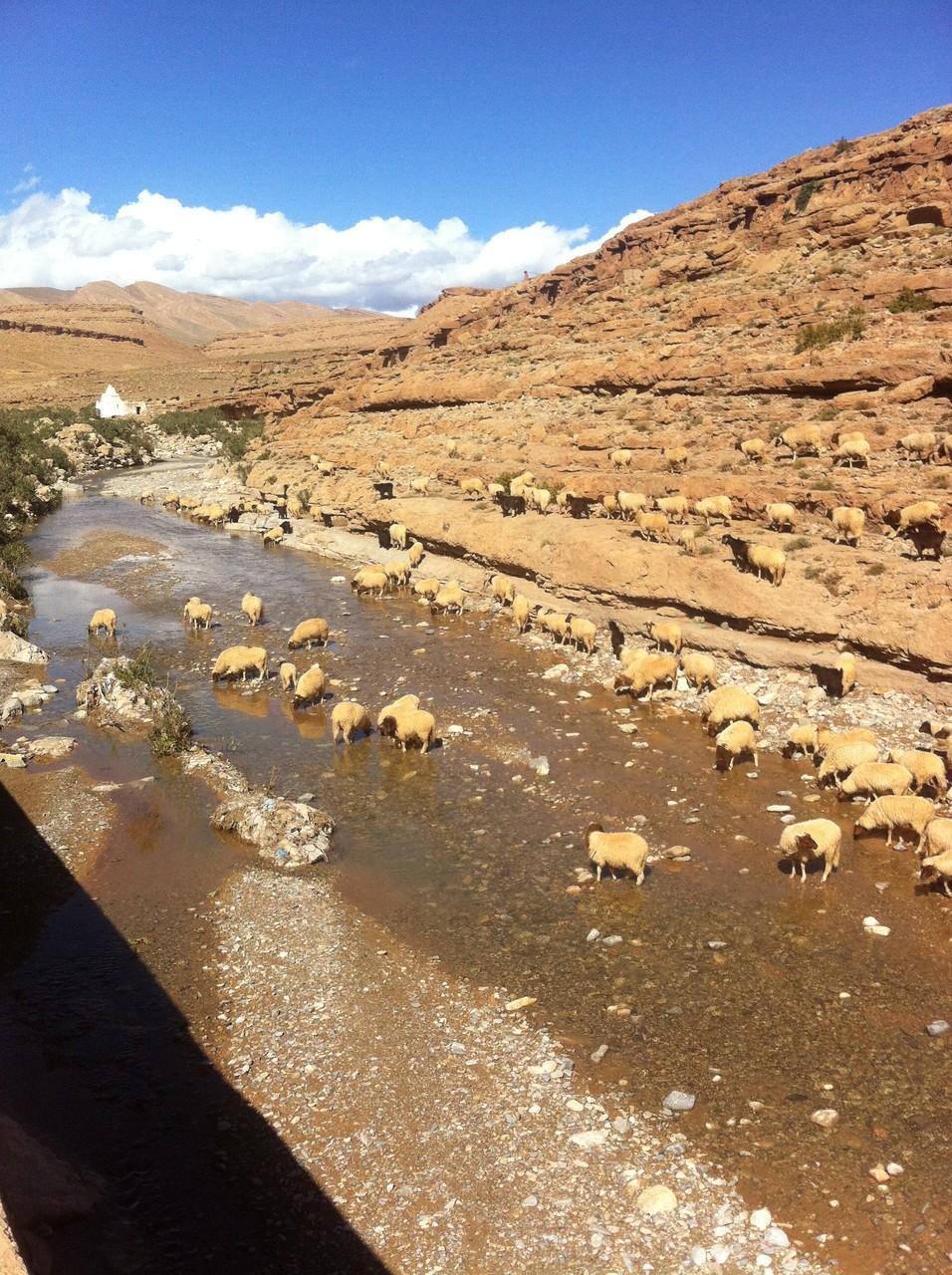 les moutons qui se désaltèrent dans le courant d'une onde claire