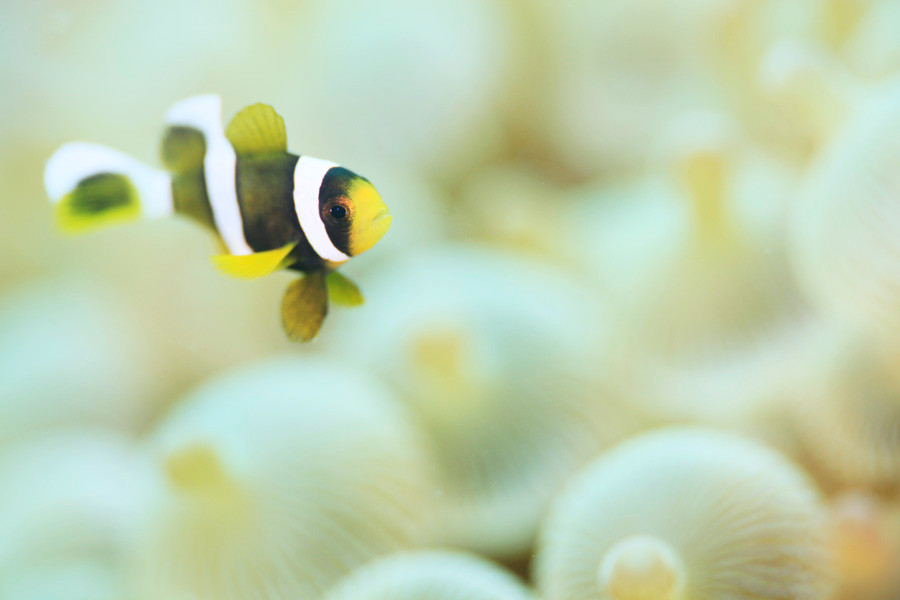 クマノミ幼魚 8月頃~10月頃までが一番の旬!かわいく撮ってあげましょう。