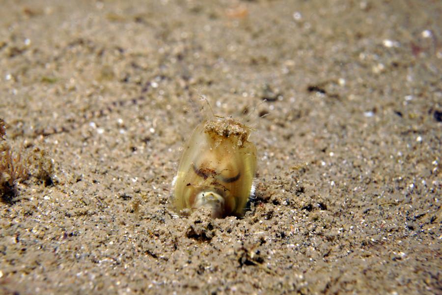 ミドリシャミセンガイ 3億年前からこの形という生きた化石です。日本広しといえども、これがダイビングで見られるところはレア!!(笑)