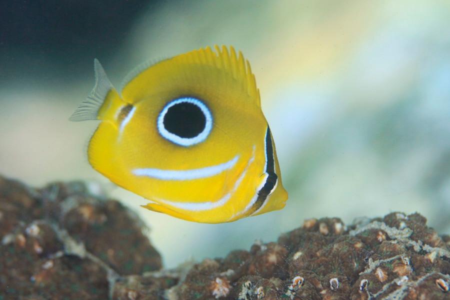 ウミヅキチョウチョウウオ 8~10月頃に湾内のサンゴの周りで見られる