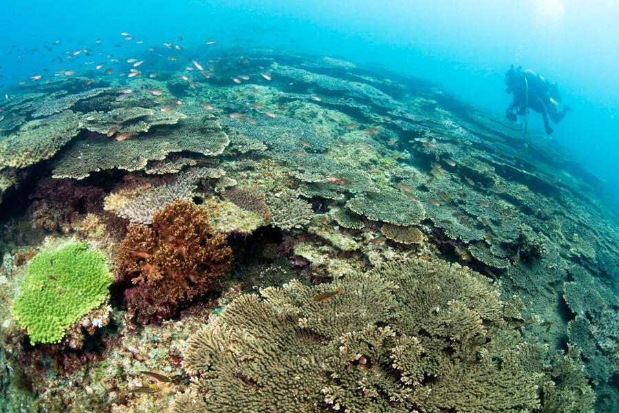 クシハダミドリイシサンゴ 牛深のボートポイントで広大な群生が見られる