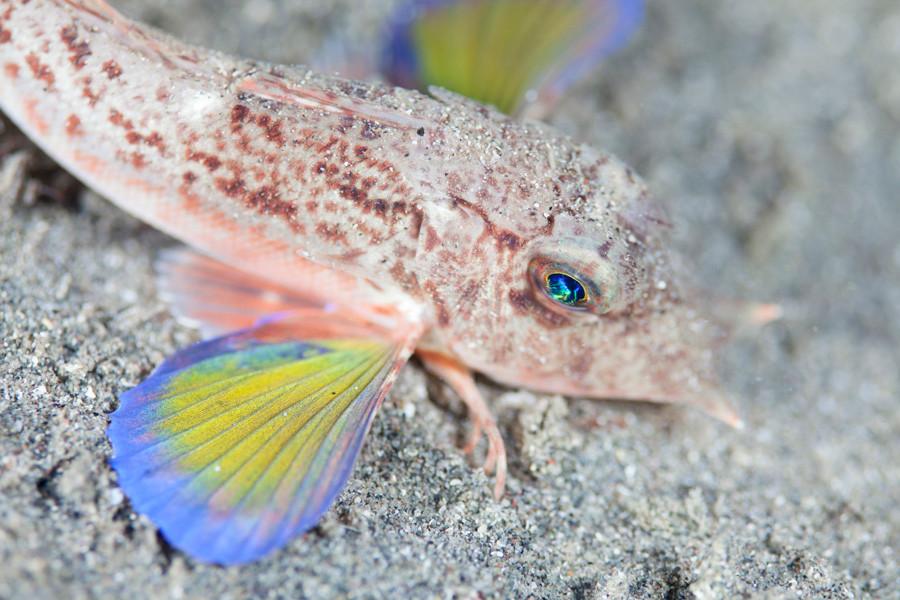 イゴダカホデリ 5~6月頃に幼魚が見られる