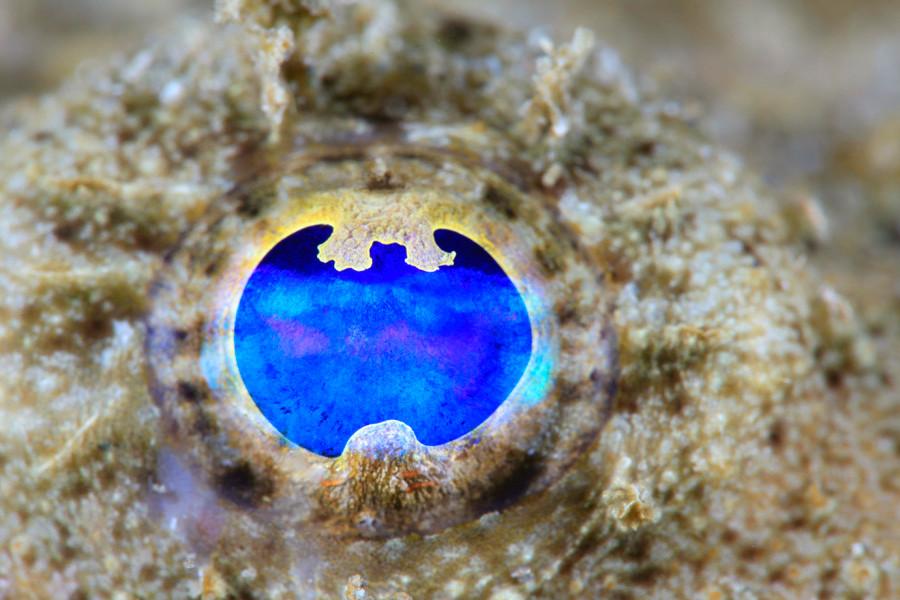 アンコウの目