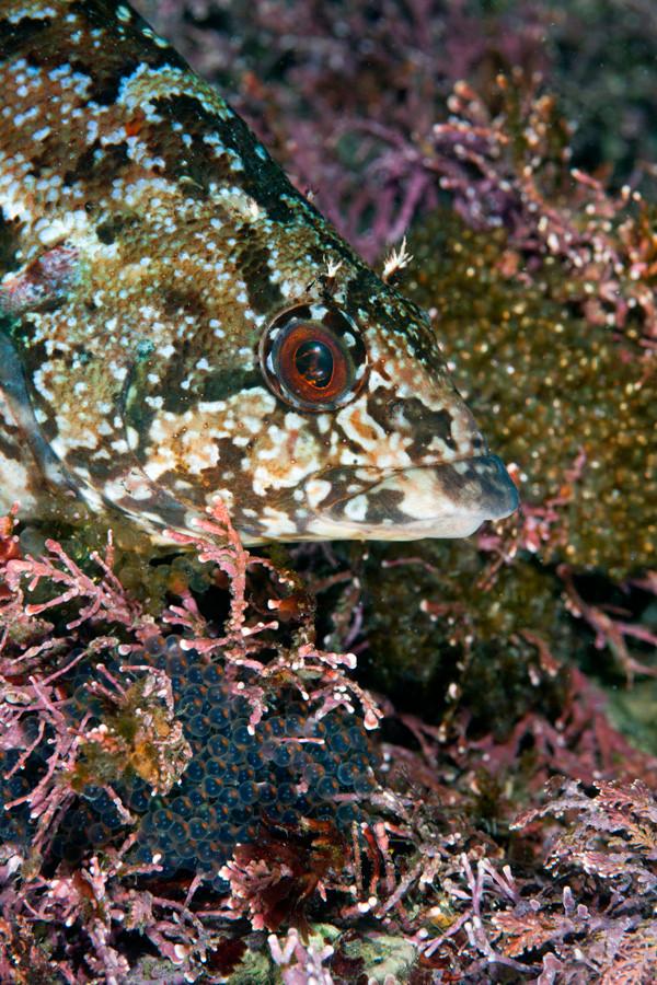 クジメ 12~1月頃に卵を守っている姿を見ることが出来る