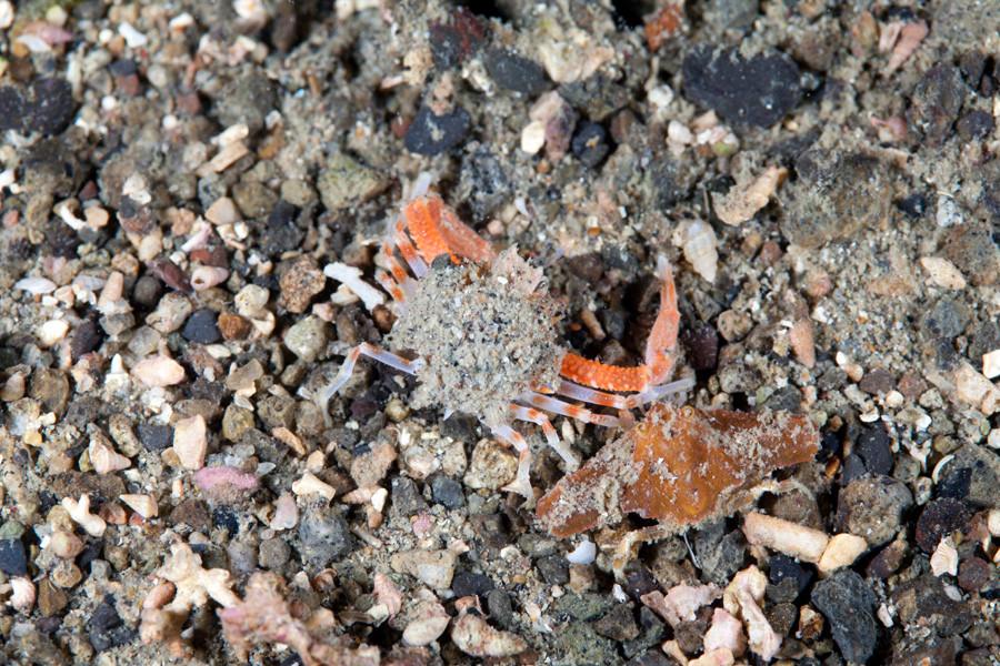 ジュウイチトゲコブシガニ ナイトダイビングで稀に見られる
