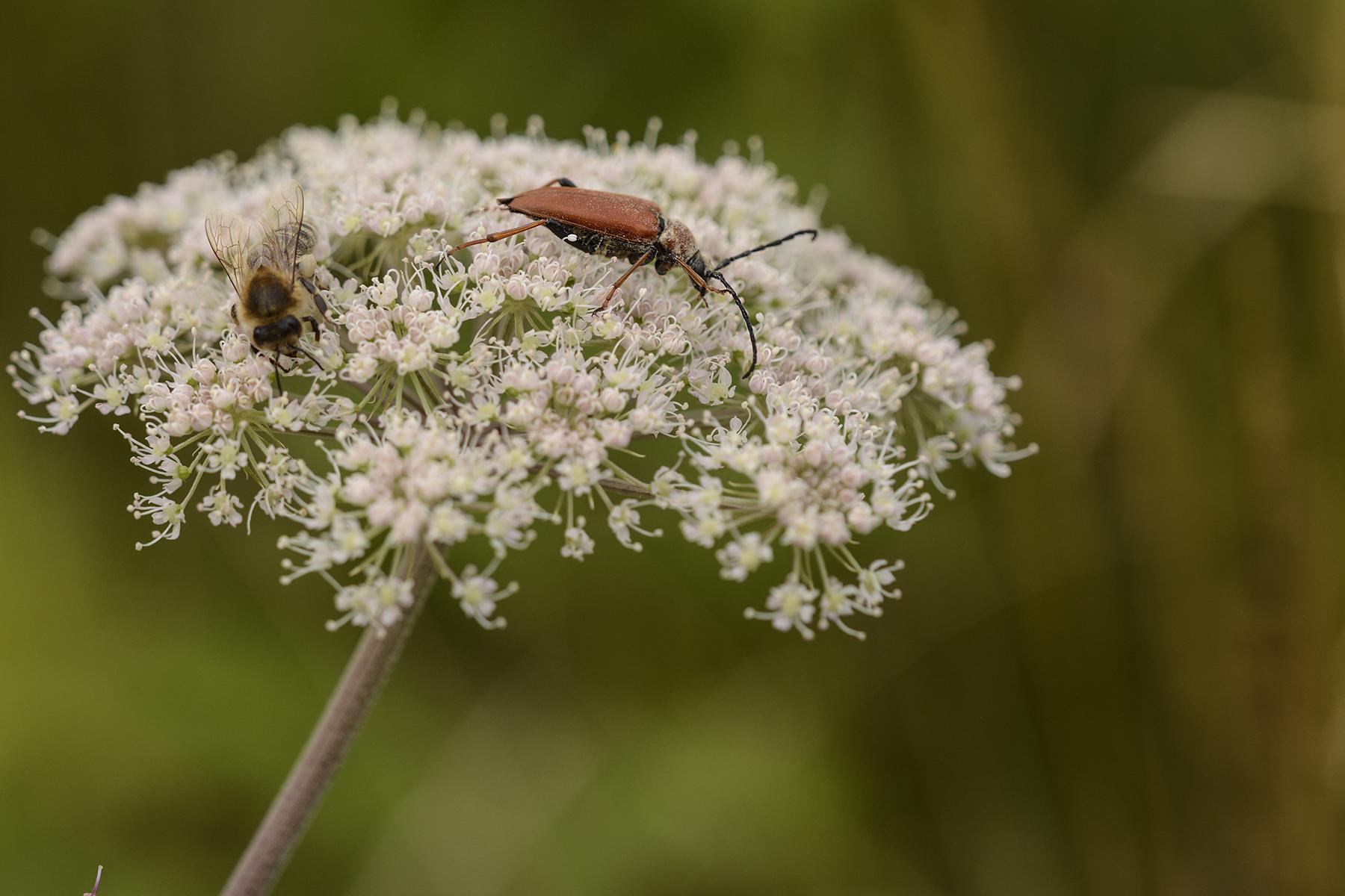 Bockkäfer und Honigbiene